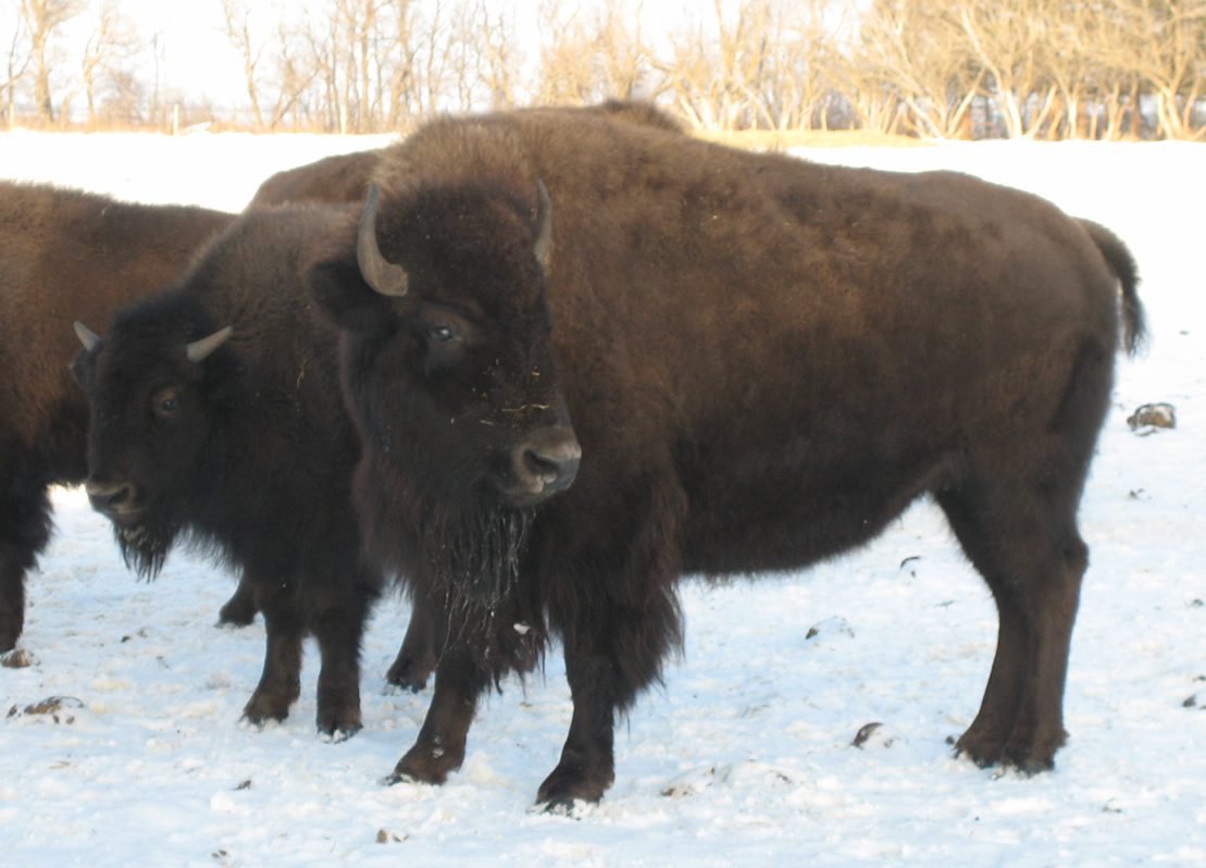 Dwight's Bison